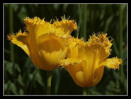 """"""" Drôlement coiffées les soeurs tulipes """""""