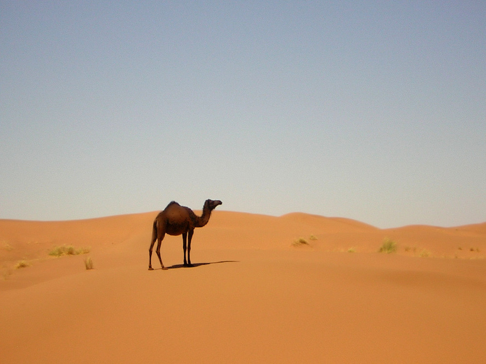 Dromadaire dans le désert