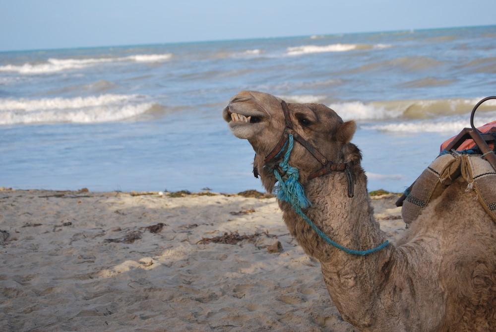 dromadaire sur la plage