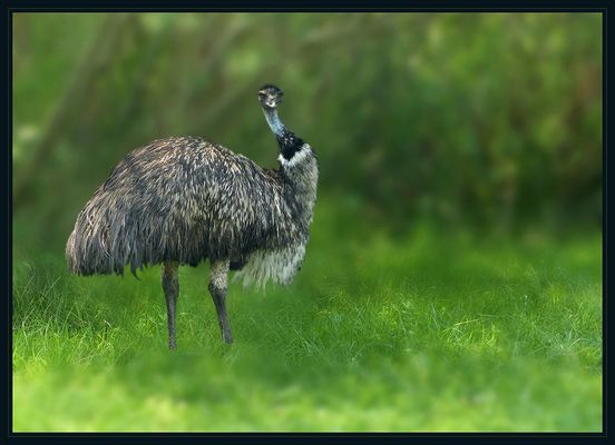 Dromaius novaehollandiae - Großer Emu