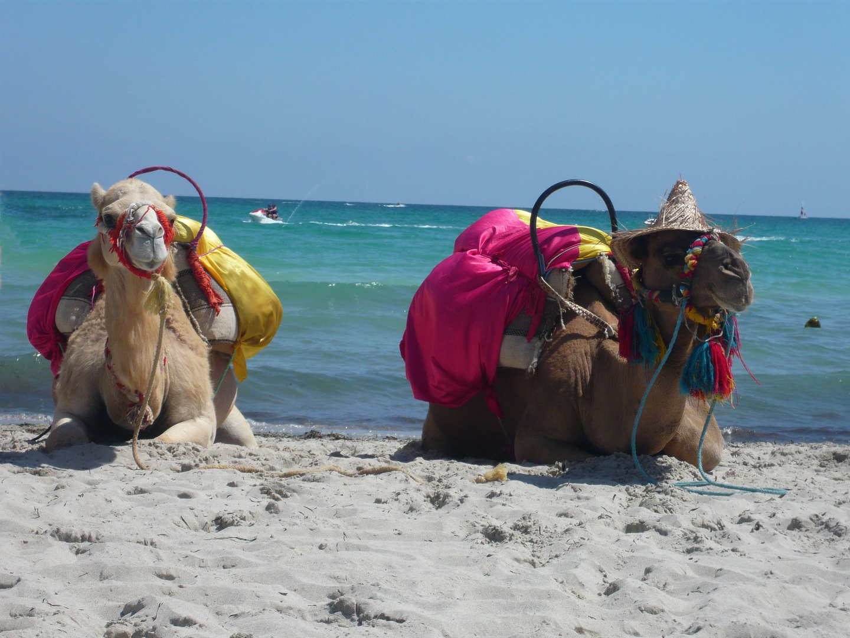 Dromedare am Strand