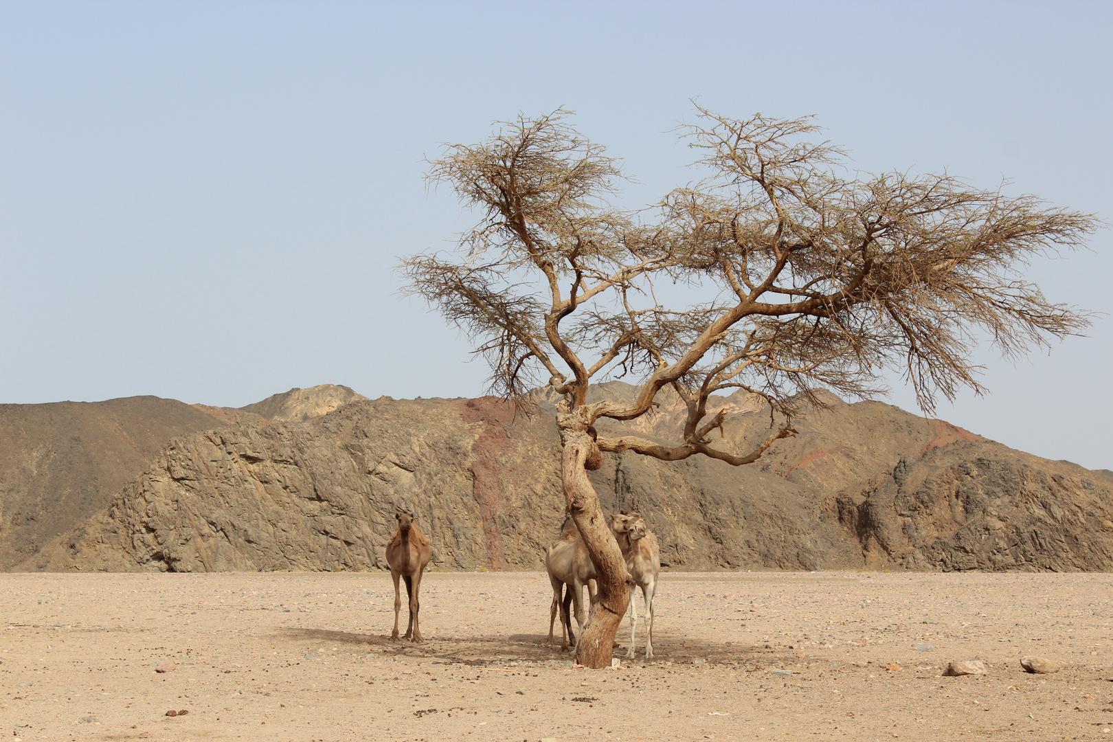 Dromedare in Ägypten
