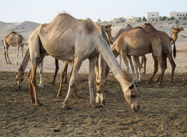 Dromedare in Al Khatim.