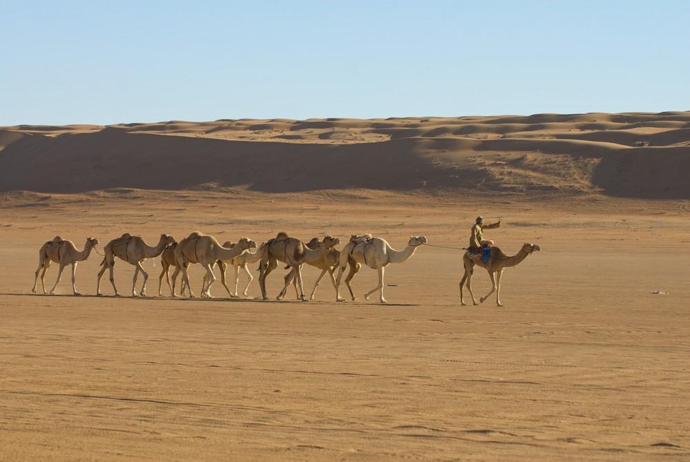 Dromedare In der Wahiba Wüste