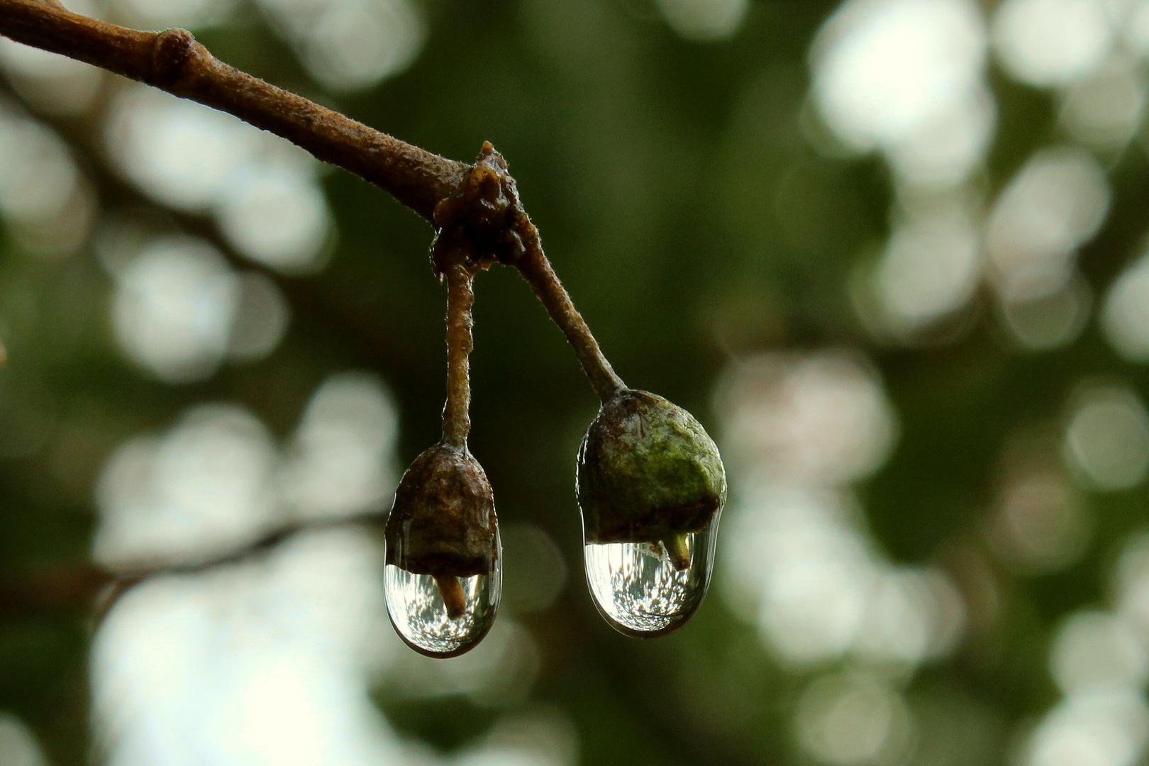 Drops of Ivy
