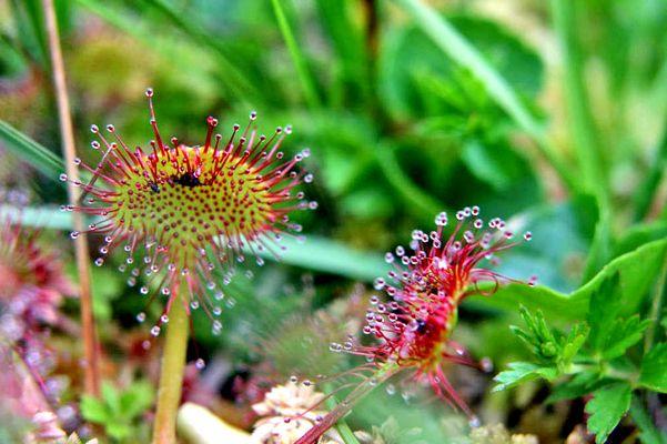 Drosera (à feuilles rondes ?) - Drosera ( rotundifolia ?) L.