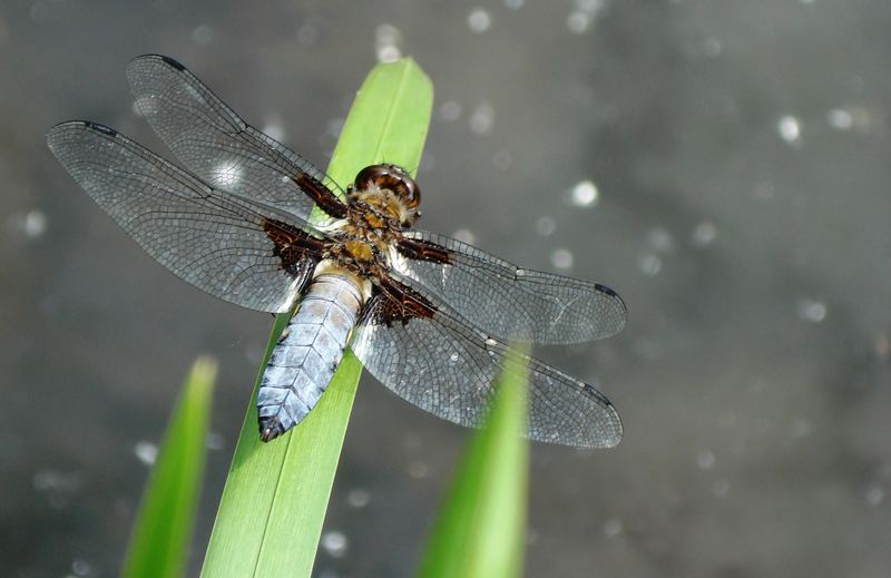 dry dragonfly