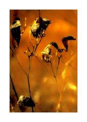 Dry Milkweed Pods