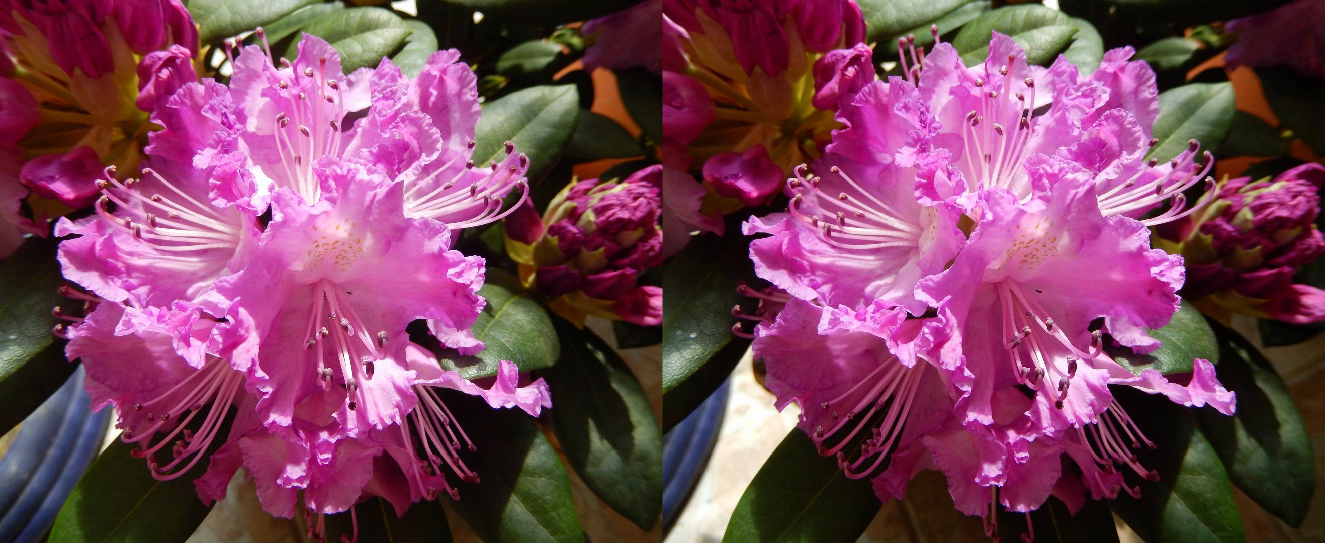 DSCN0466_Rhododendron Hybride - 'Alfred'