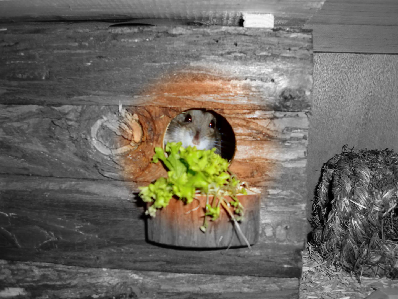 Dsungarische Hamsterin freut sich über neues Haus
