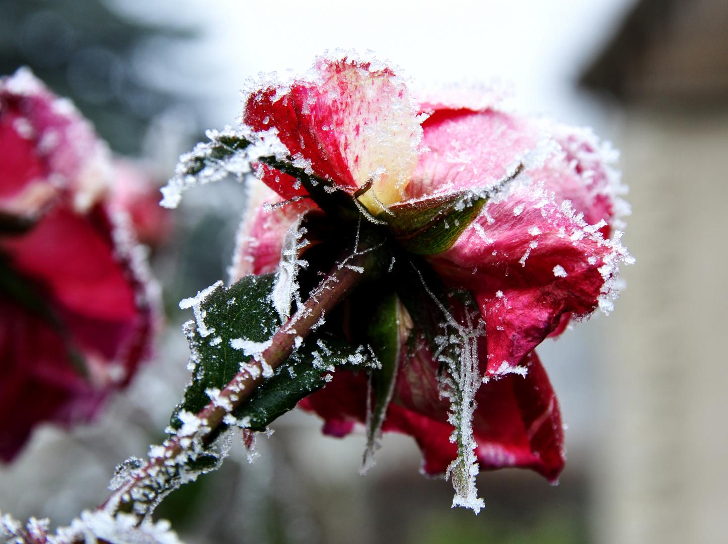 Du bist die Rose meines Herzens