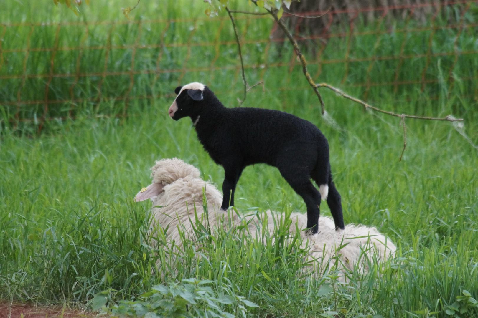 Du bist unser schwarzes Schaf