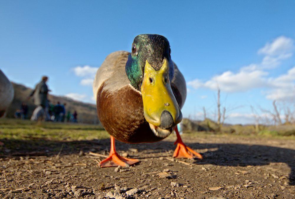 Duck Attack!