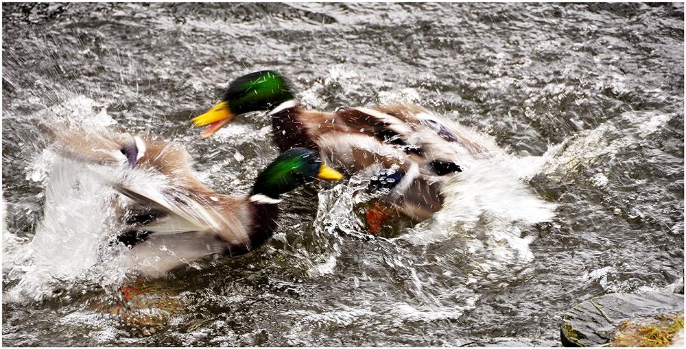 Duck-Fight