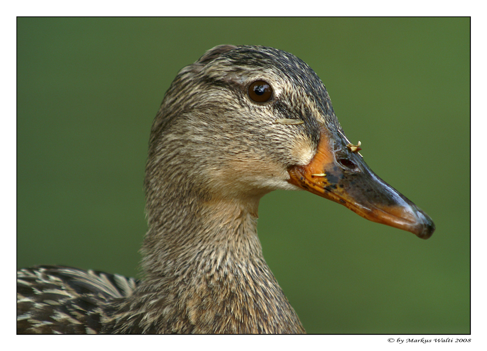 Duck stories I