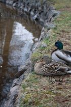 Duckcouple