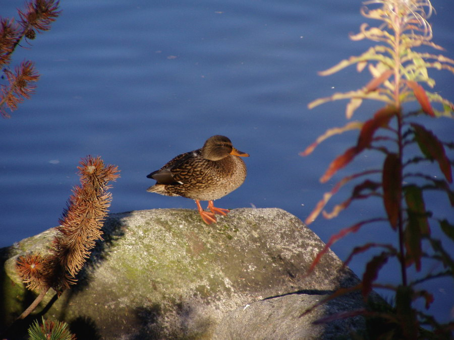 Duckie on Strbske mountain lake [High Tatras].