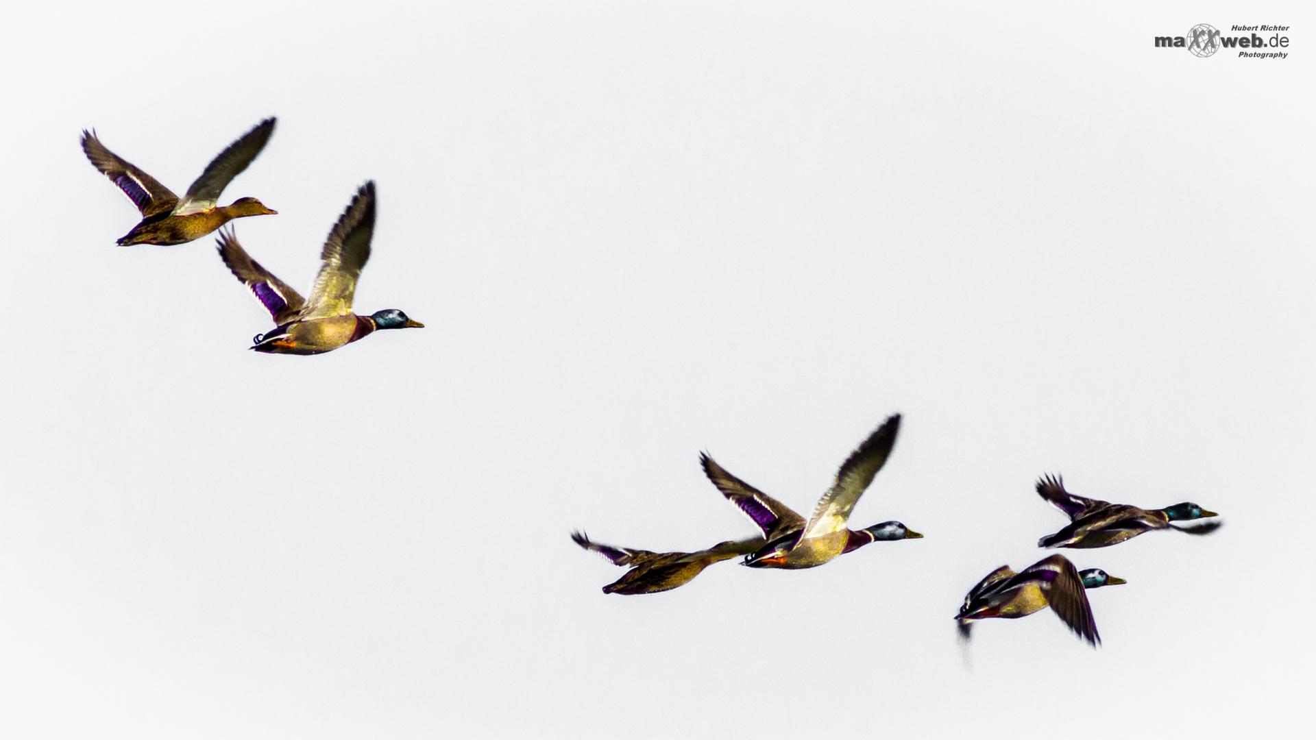 Ducks Airways