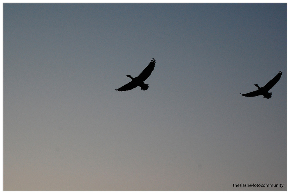 Ducks in the Sky