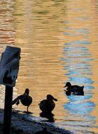ducks paradies