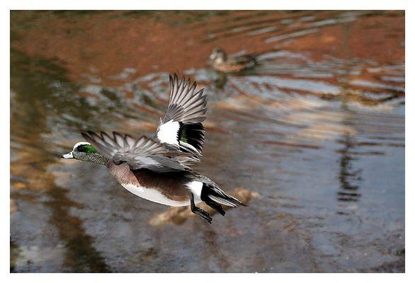 Duckwing Duck