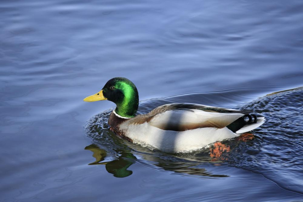 Ducky posiert