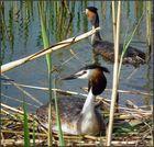 Düker-Paar am Nest (2)