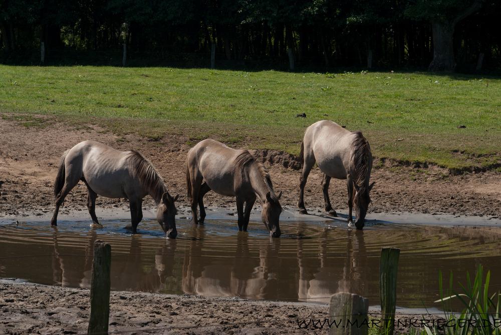 Dülmener Wildpferde (5)