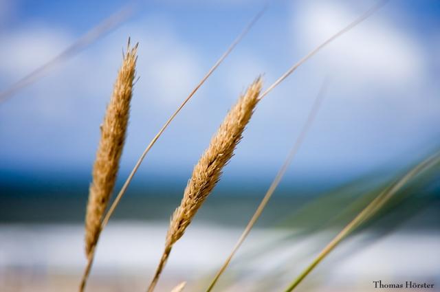Dünen Gras