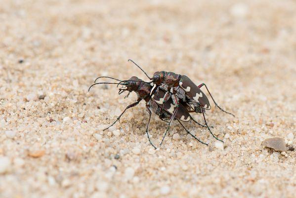 Dünen-Sandlaufkäfer (Cicindela hybrida)