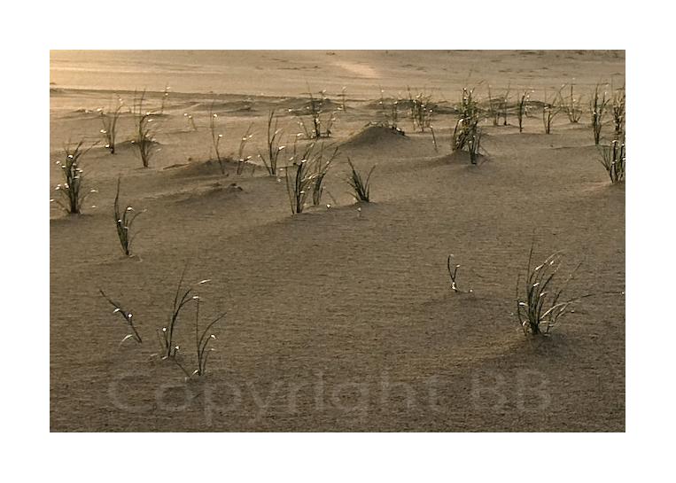 Dünenbepflanzung