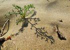 Dünenpflänzchen