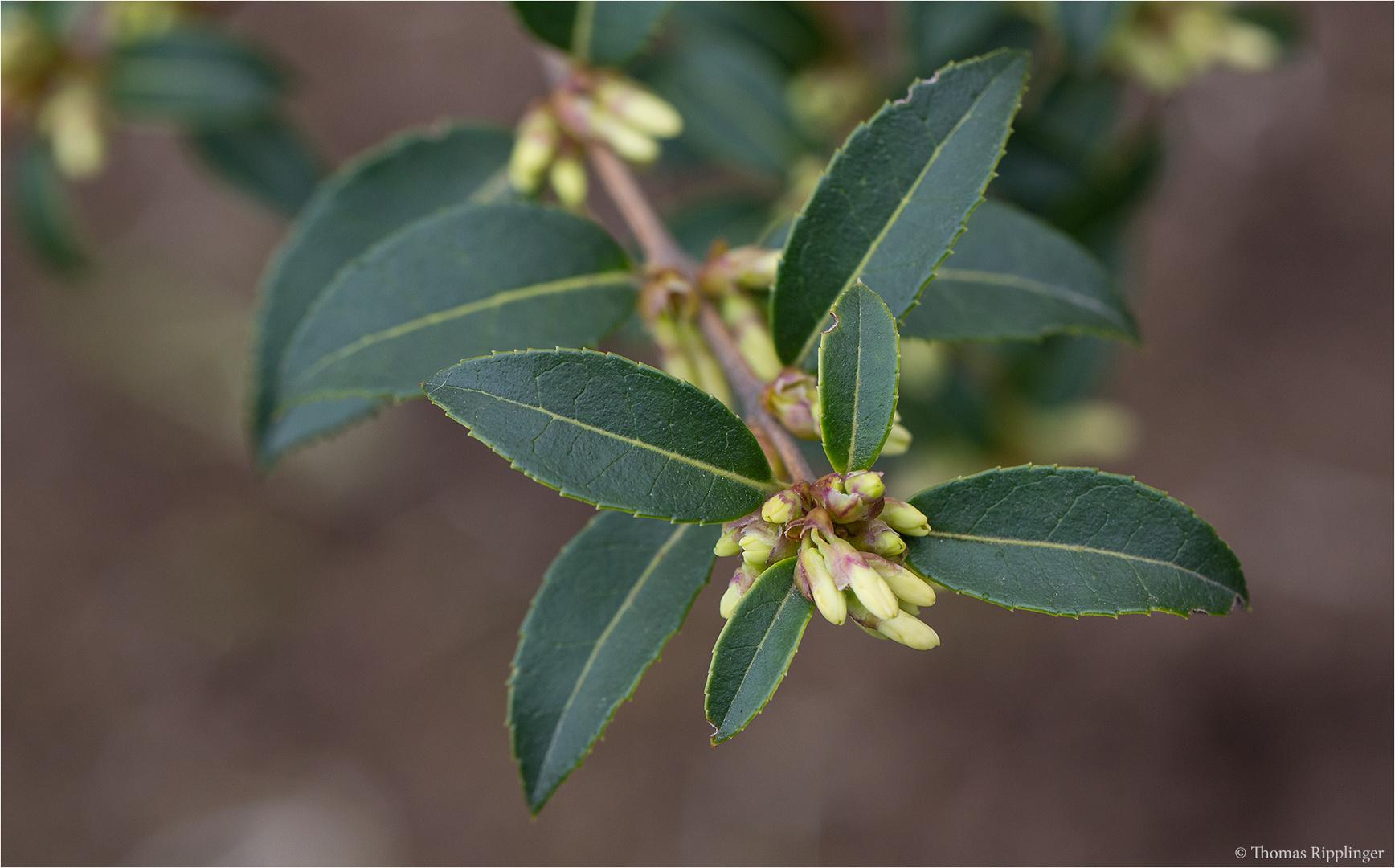 Duftblüte (Osmanthus suavis).
