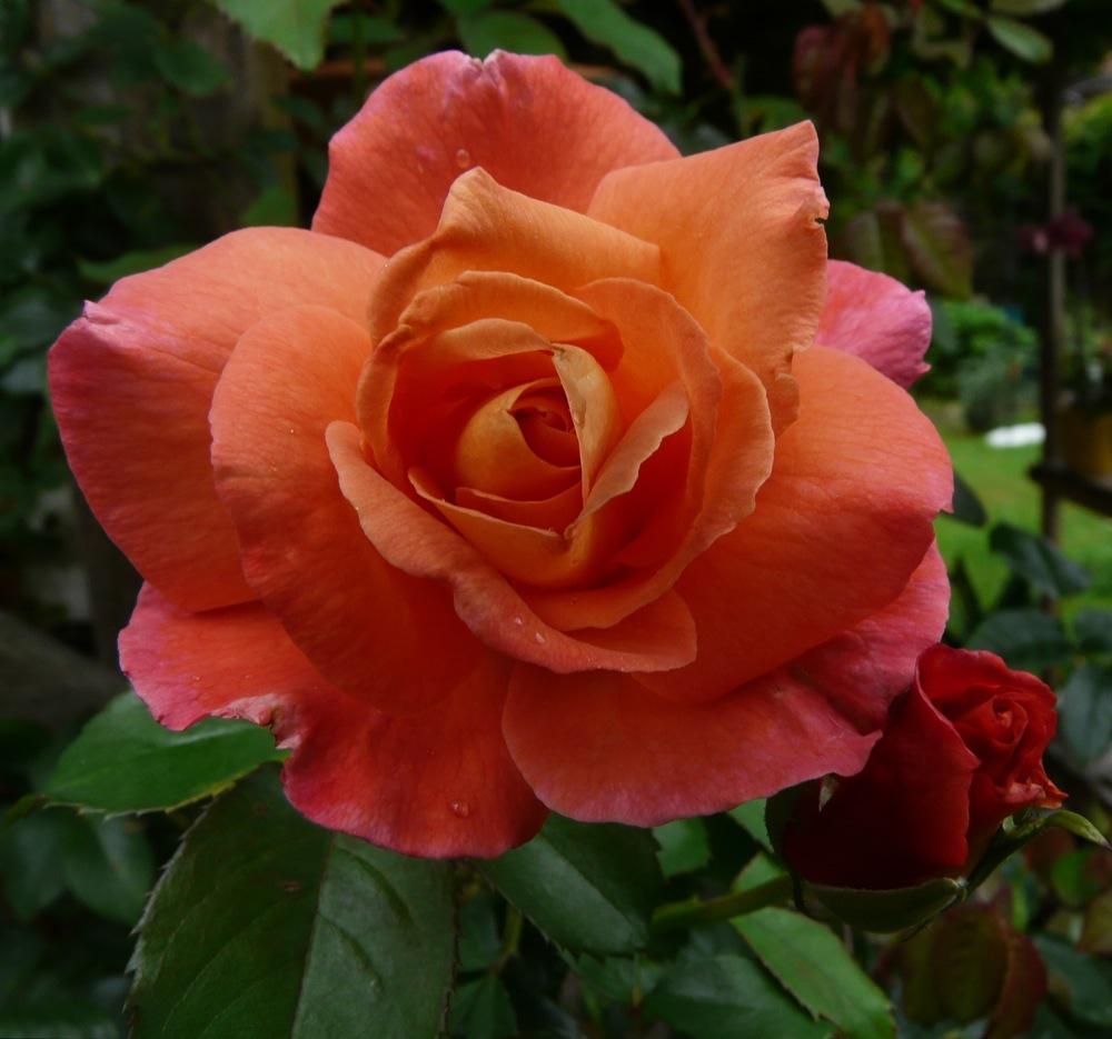 duftende Gartenschönheit