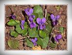 Duftende Veilchen . . . . .  violettes