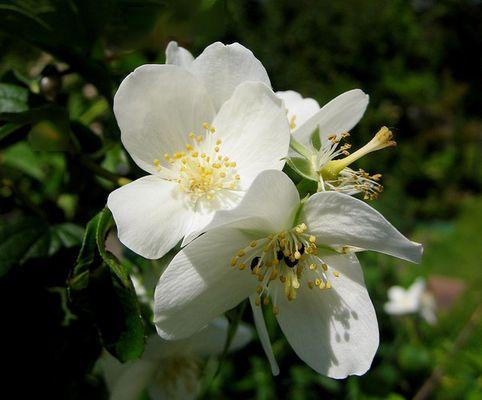 Duftjasmin-Blüten