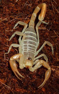 Dune Scorpion,, Smeringus mesaensis