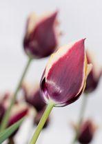 dunkel rote Tulpen