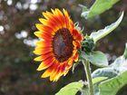 dunkle Sonnenblume
