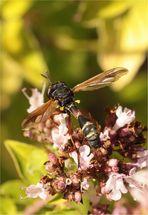 Dunkle Stieldickkopffliege (Physocephala rufipes)