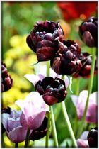 dunkle Tulpen 2