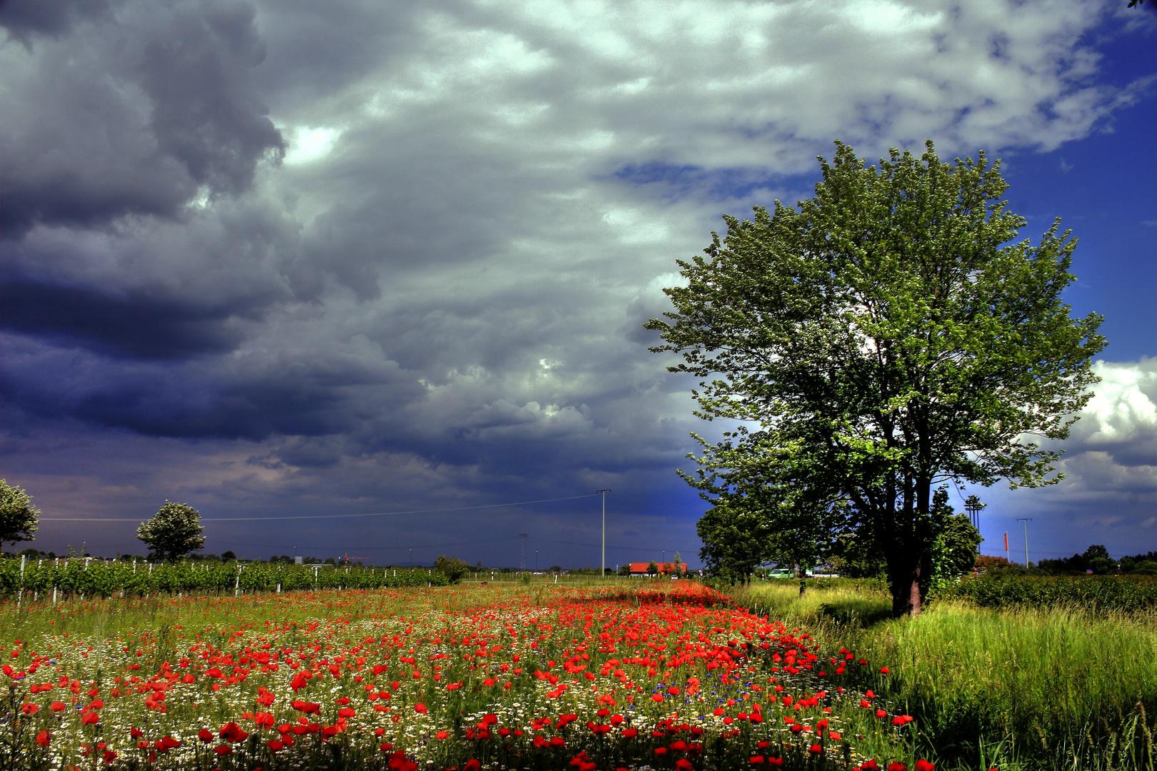 Dunkle Wolken überm Mohnfeld