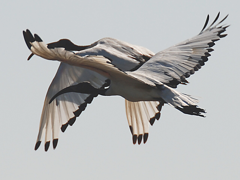 Duo d' ibis sacrés