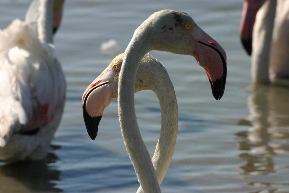Duo de flamants roses