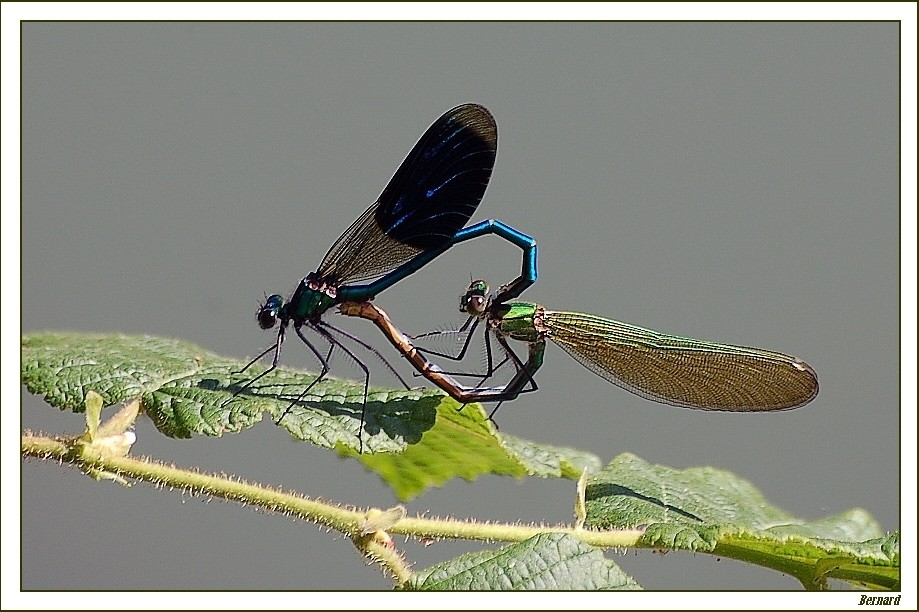 Duo de libellules