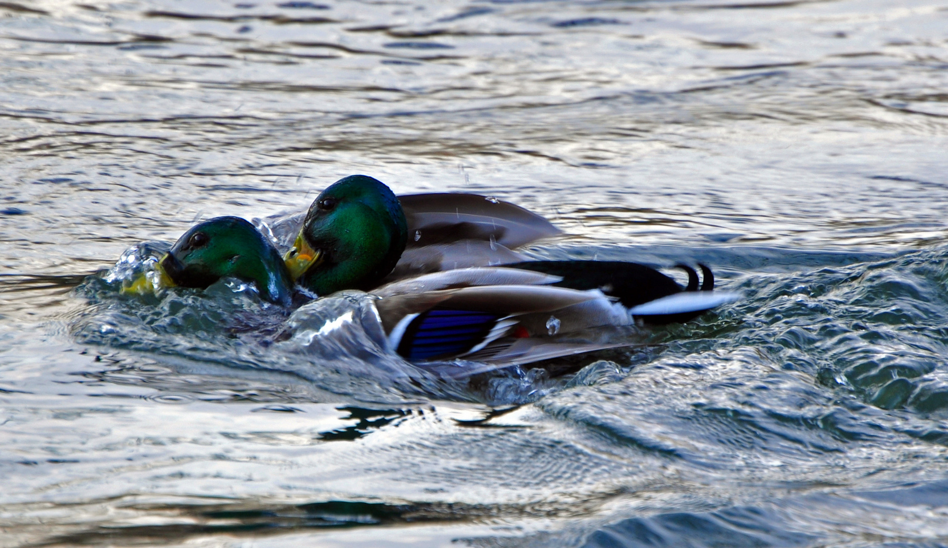 Duo-Schwimm