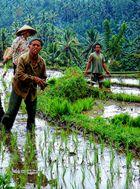 dur labeur dans les rizières