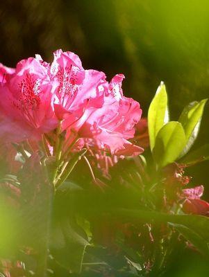 Durchblick zum Rhododendron