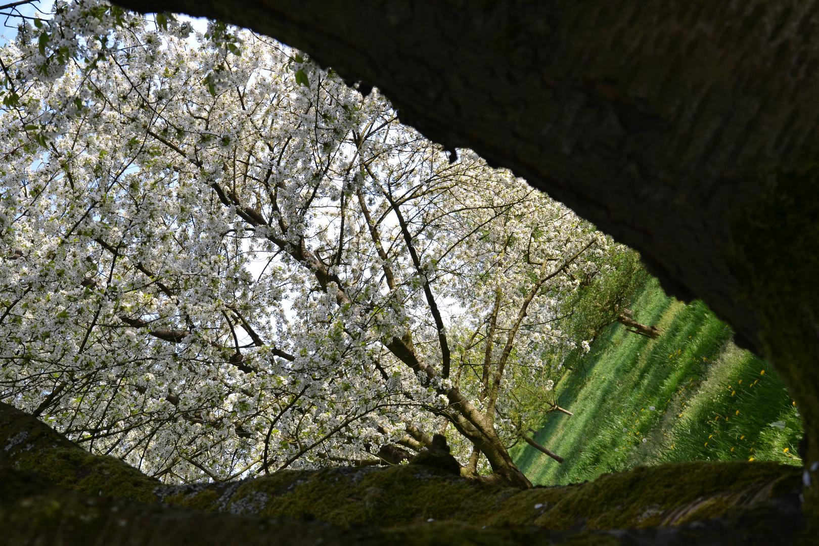 Durchblick zur Kirschbaumblüte