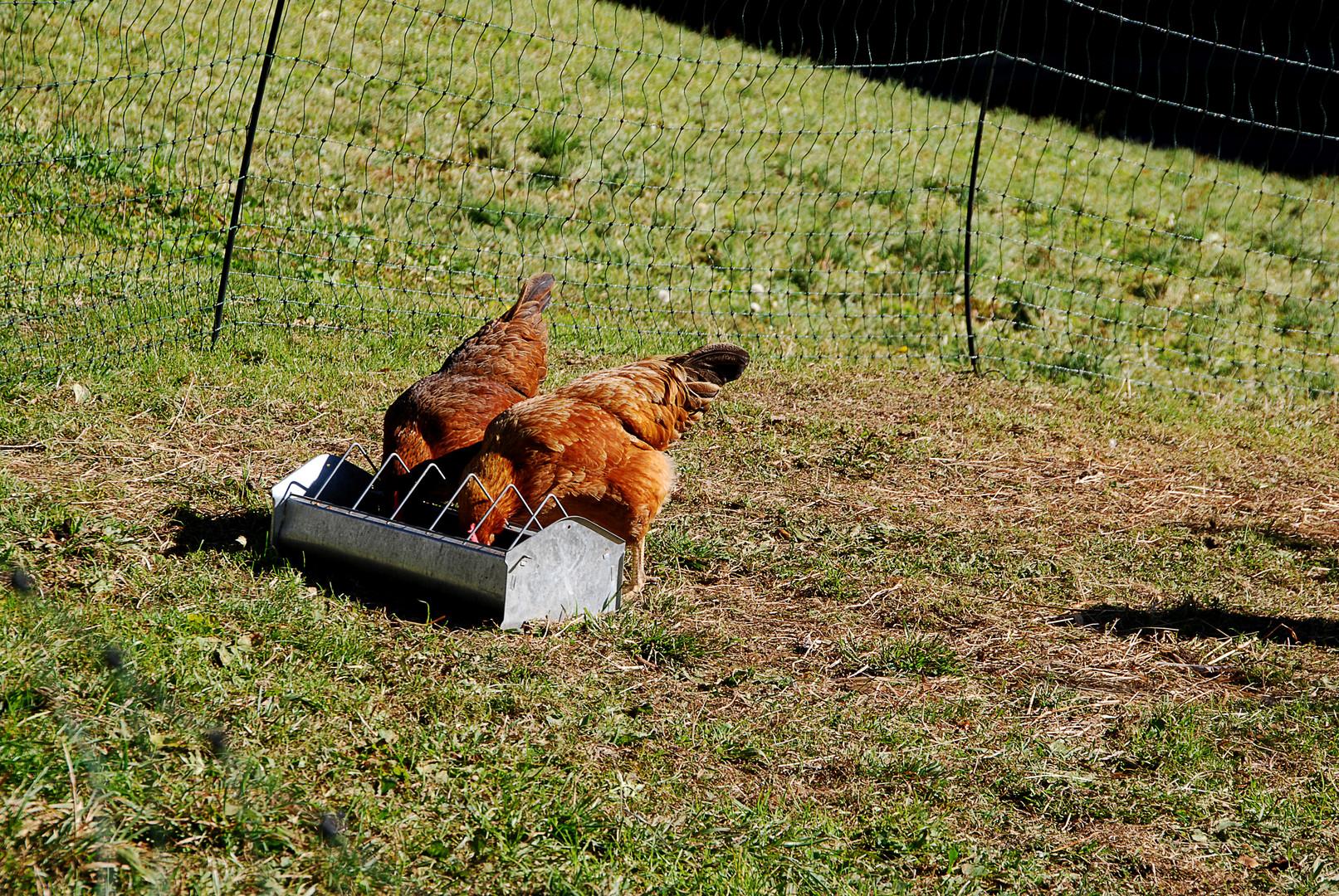 Durchgeknallte Hühner